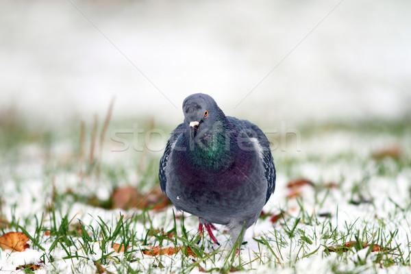 pigeon walking towards the camera Stock photo © taviphoto