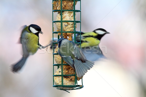 big starvation at bird feeder Stock photo © taviphoto