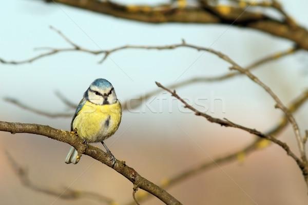 shivered blue tit Stock photo © taviphoto