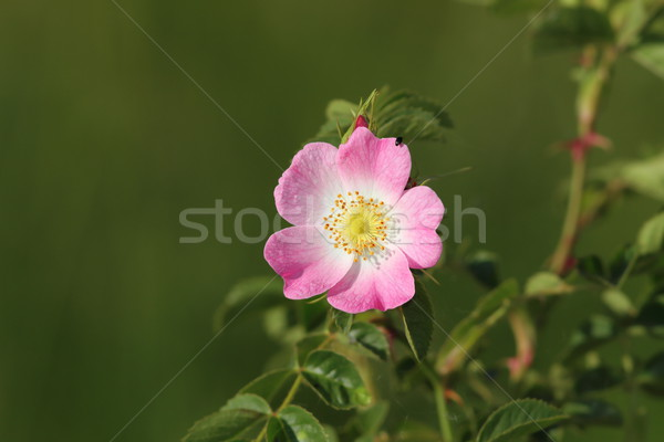 dog rose wild flower Stock photo © taviphoto