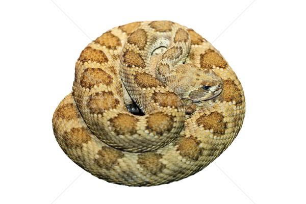 Isoliert weiß Prärie Schönheit Schlange Tier Stock foto © taviphoto