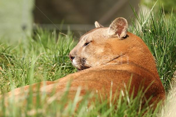Güzel puma hayvanat bahçesi portre puma doğa Stok fotoğraf © taviphoto