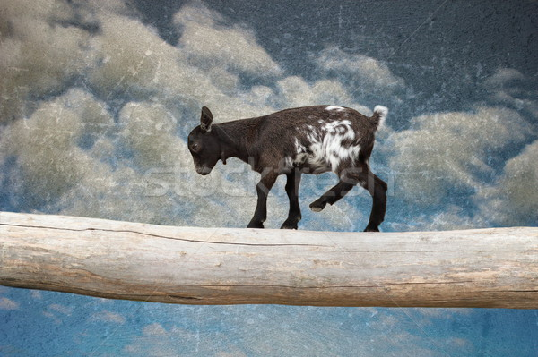 goat kid walking with courage on tree clog Stock photo © taviphoto