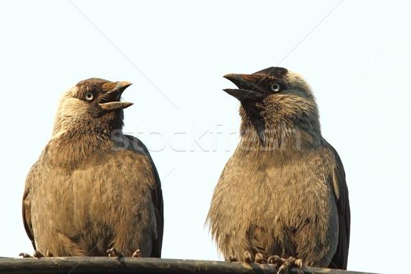 jackdaws at a chat Stock photo © taviphoto