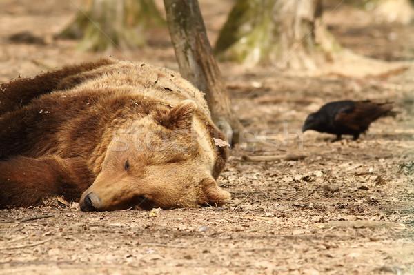 álmos medve étel erdő természet pihen Stock fotó © taviphoto