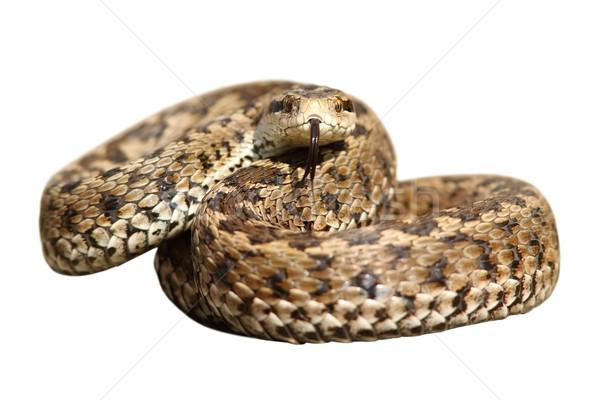 Odizolowany węża gotowy strajk łące charakter Zdjęcia stock © taviphoto