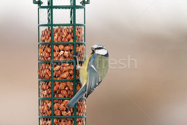 blue tit on feeder full of peanuts Stock photo © taviphoto