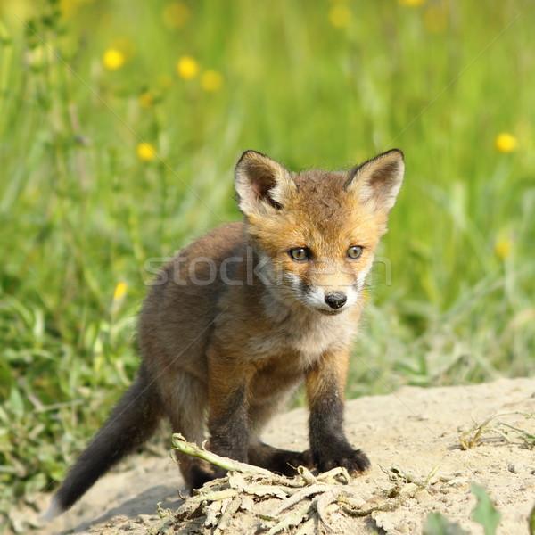 Mały europejski Fox czerwony pomarańczowy Zdjęcia stock © taviphoto