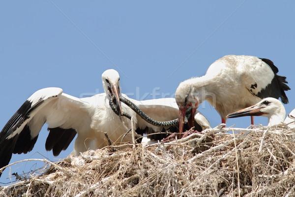 Blanco cigüena pollitos nido hierba Foto stock © taviphoto