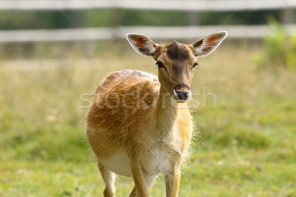 fallow deer hind coming towards camera Stock photo © taviphoto