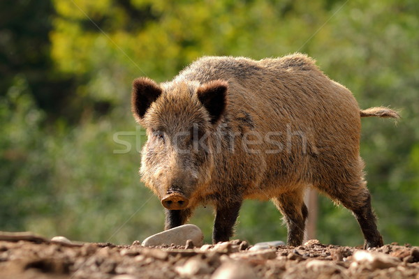 large curious boar Stock photo © taviphoto
