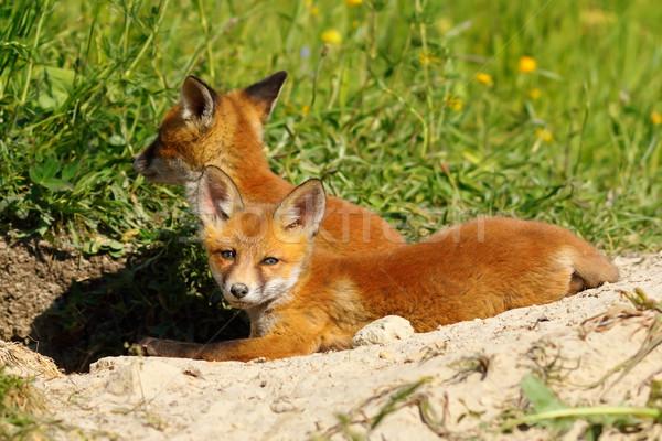 Pigro Fox immagine Foto d'archivio © taviphoto