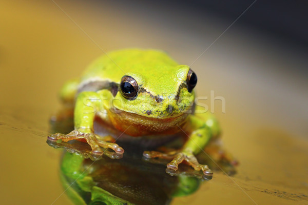 closeup of cute tree frog Stock photo © taviphoto