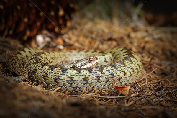 female common adder basking on forest ground in natural habitat Stock photo © taviphoto
