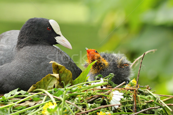 coot with chicken on nest Stock photo © taviphoto