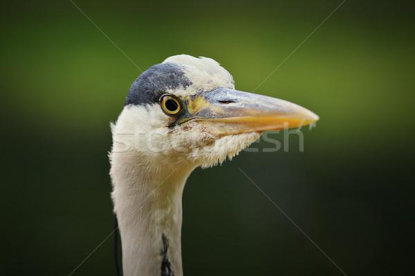 グレー 鷺 頭 緑 外に フォーカス ストックフォト © taviphoto