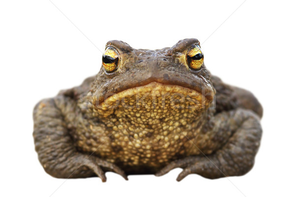 isolated brown toad front view Stock photo © taviphoto