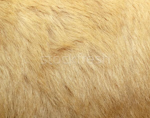 detail of polar bear fur Stock photo © taviphoto
