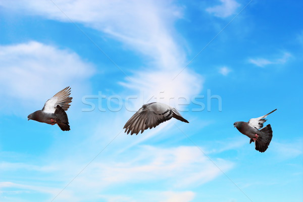 pigeon flying over beautiful sky Stock photo © taviphoto