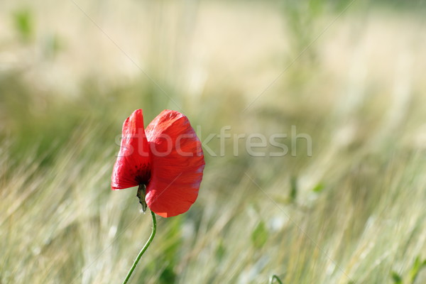 colorful uncultivated poppy Stock photo © taviphoto