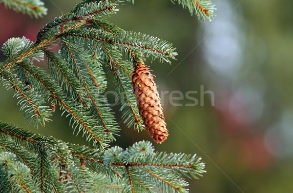 Wystroić stożek w górę drzewo real Zdjęcia stock © taviphoto