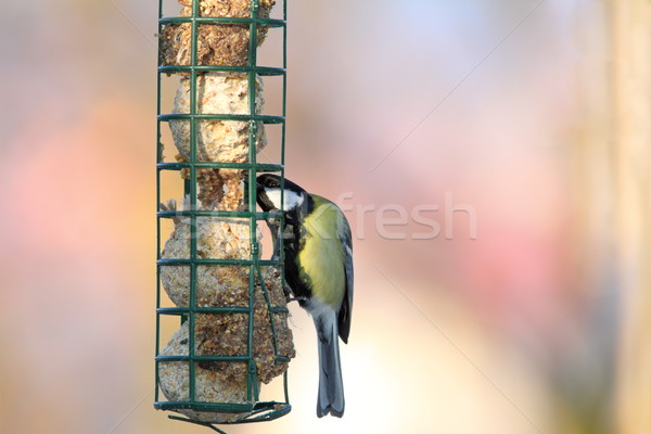 great tit grabbing lard from feeder Stock photo © taviphoto