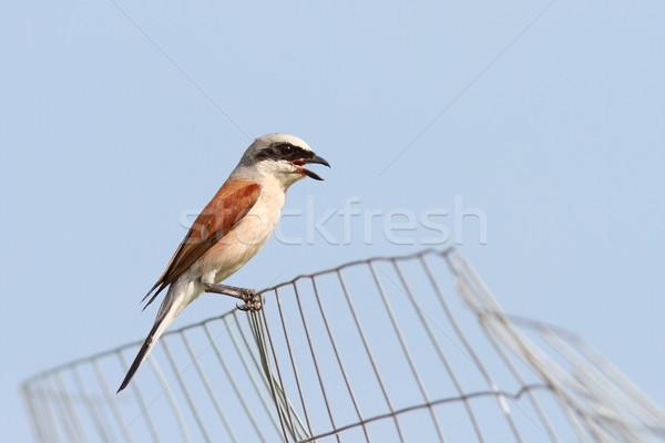 lanius collurio on abandoned wire fence Stock photo © taviphoto