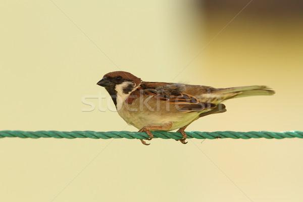 Mannelijke huis mus groene string vogel Stockfoto © taviphoto
