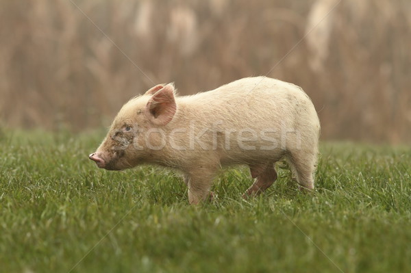 small pig on lawn Stock photo © taviphoto