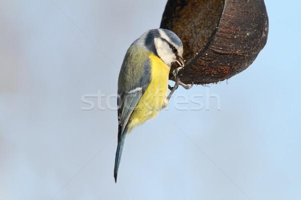 blue tit hanging on lard feeder Stock photo © taviphoto