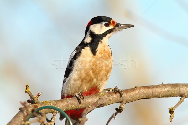 great spotted woodpecker on branch Stock photo © taviphoto