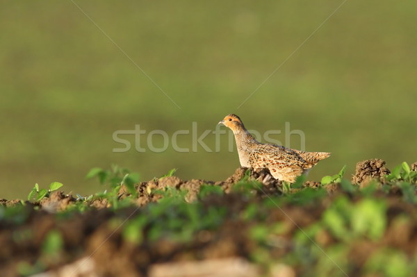 female grey partridge in the field Stock photo © taviphoto