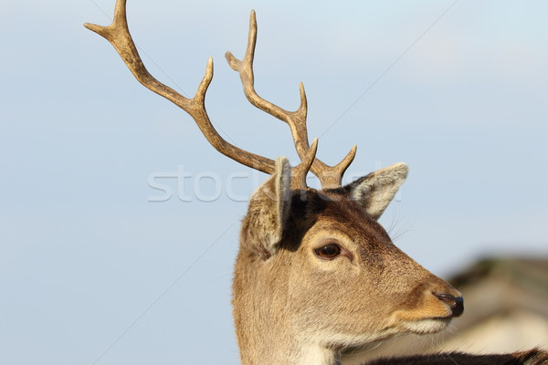 portrait of young fallow deer Stock photo © taviphoto