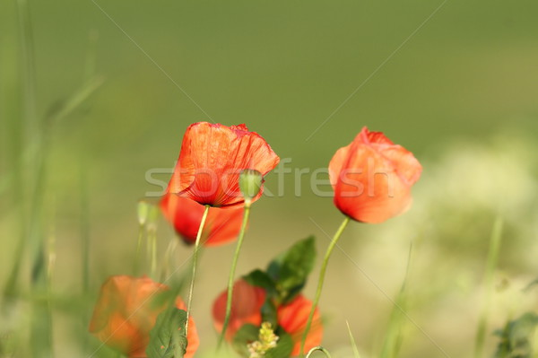 colorful red wild poppies Stock photo © taviphoto