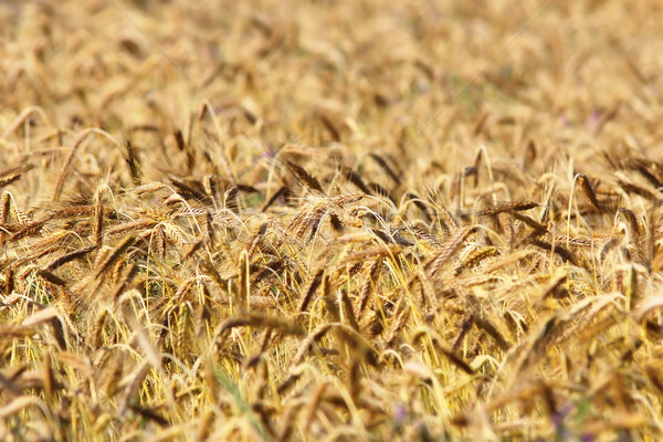 detail of wheat agricultural field Stock photo © taviphoto