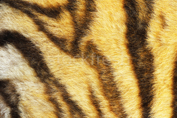 close up of real tiger stripes Stock photo © taviphoto
