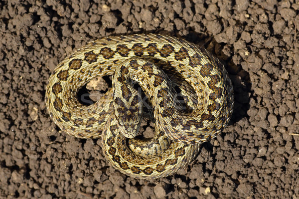 full length meadow viper Stock photo © taviphoto