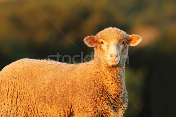 Foto stock: Curioso · ovejas · mirando · cámara · fuera · enfoque