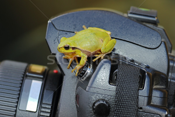 green tree frog on photo camera Stock photo © taviphoto