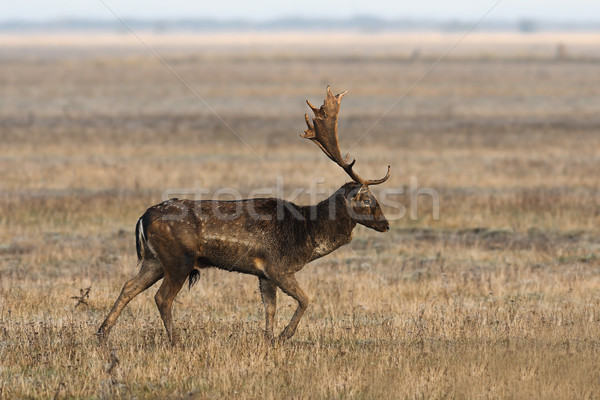 fallow deer stag walking on meadow Stock photo © taviphoto