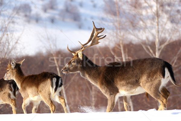 fallow deer buck and its baby stag Stock photo © taviphoto