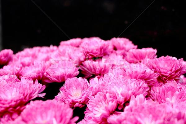 Ramo rosa crisantemo hermosa perfecto regalo Foto stock © taviphoto