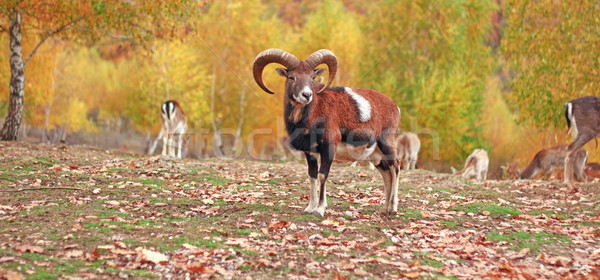 mouflon ram in autumn setting Stock photo © taviphoto