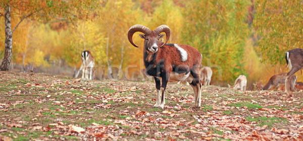 Carnero otono animales parque naturaleza fondo Foto stock © taviphoto