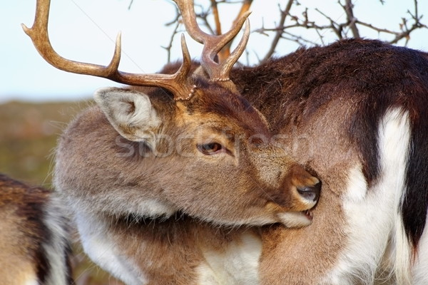 deer scratching because of  ticks Stock photo © taviphoto