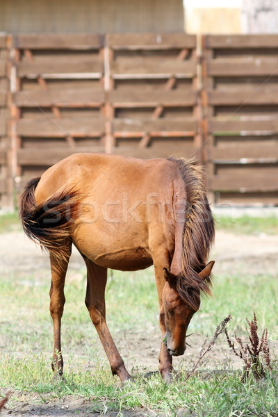 brown horse grazing on meadow Stock photo © taviphoto