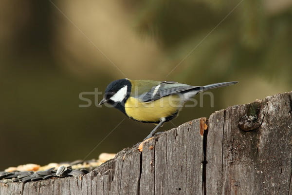 great tit came at seeds on stump Stock photo © taviphoto