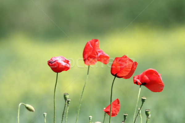 Stock photo: group of wild poppies
