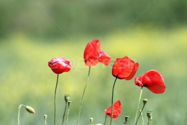 group of wild poppies Stock photo © taviphoto