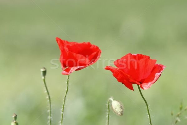beautiful red poppy flowers Stock photo © taviphoto